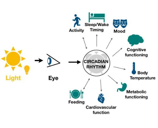 Diagrammatic representation of a typical circadian rythm.